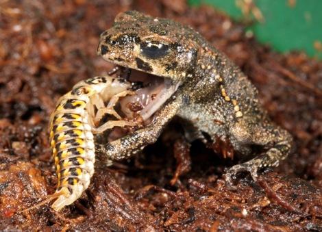 Epomis Beetle Larvae Attacking Frog