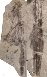 Changyuraptor with (right) details of plumage. (Luis Chiappe/ Courtesy of the Natural History Museum of Los Angeles County) (Washington Post)