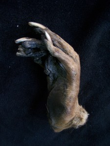 Taxidermy Monkey Paw