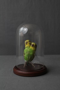 Two Headed Parrot in Medium Bell Jar