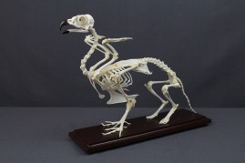 griffin skeleton 73