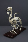 griffin skeleton 77