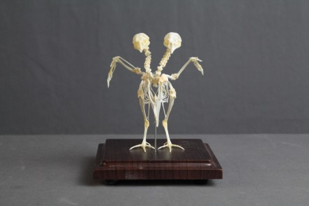two headed bird skeleton 36